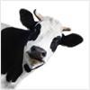 dla krów
