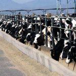 Drożdże dla zwierząt hodowlanych