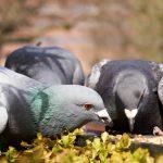 Co jedzą gołębie? Kilka słów o prawidłowym żywieniu ptactwa hodowlanego