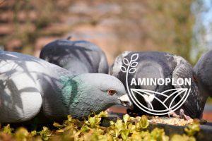 Read more about the article Co jedzą gołębie? Kilka słów o prawidłowym żywieniu ptactwa hodowlanego