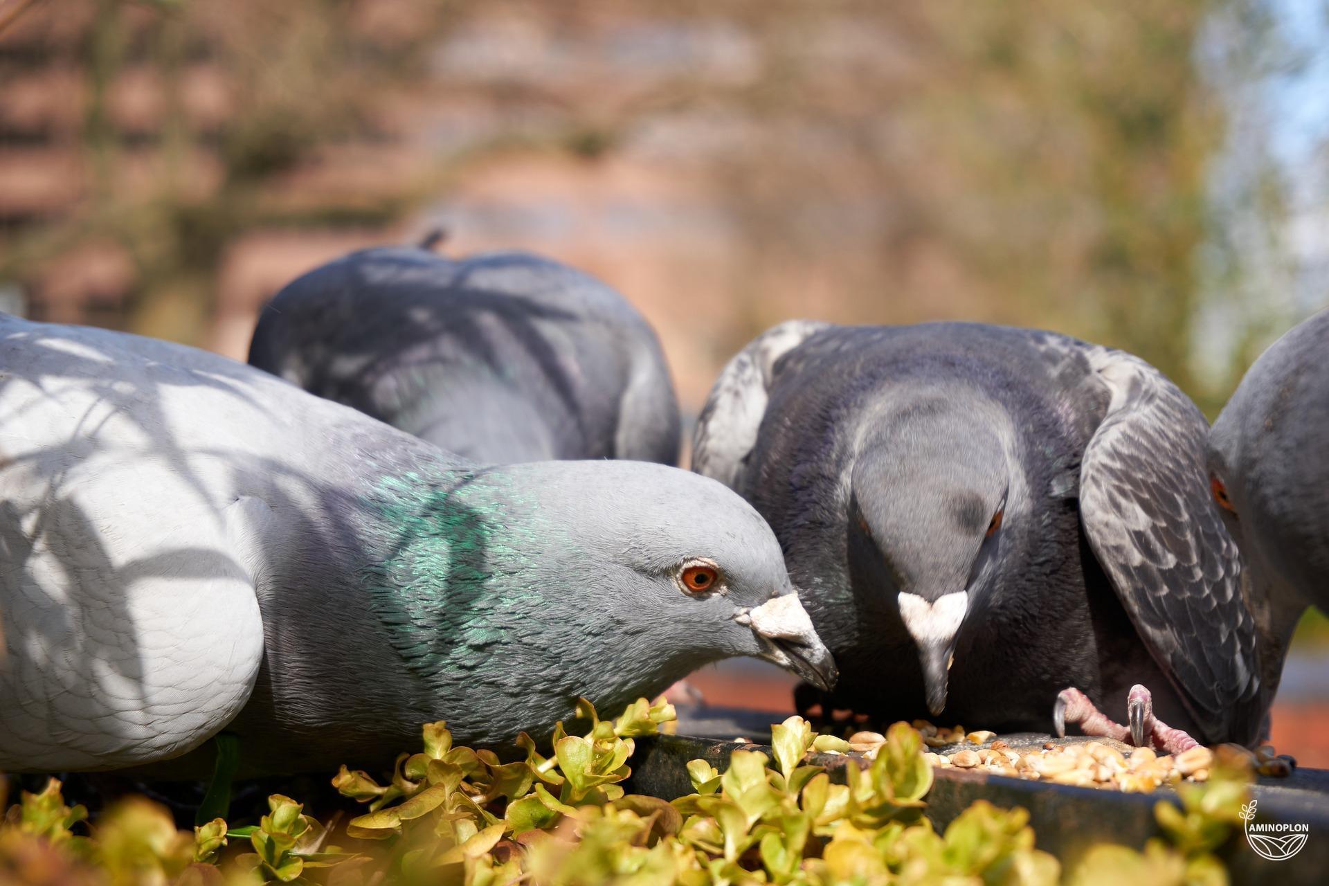 You are currently viewing Co jedzą gołębie? Kilka słów o prawidłowym żywieniu ptactwa hodowlanego